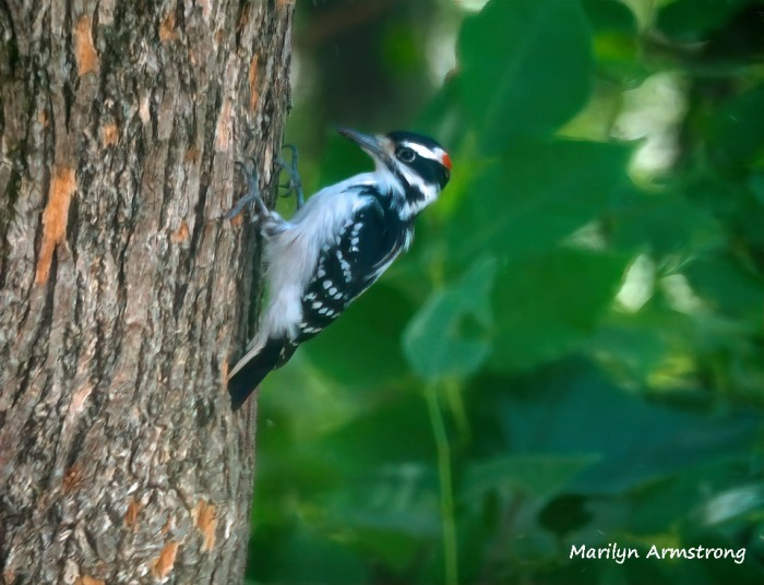 This image has an empty alt attribute; its file name is 300-woodpecker-at-work_083020_005.jpg