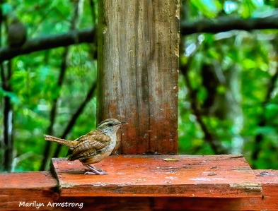 180-Carolina-Wren-Birds-Last-Aug_083120_003_HDR
