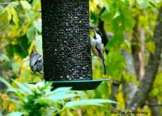 180-Chickadee-&-Catbird-Sept_092220_087