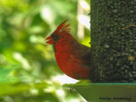 180-Crest-Raised-Cardinal-Red-Male-090120_017