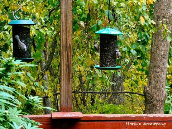 180-Early Autumn-Birds-Sept_092220_063
