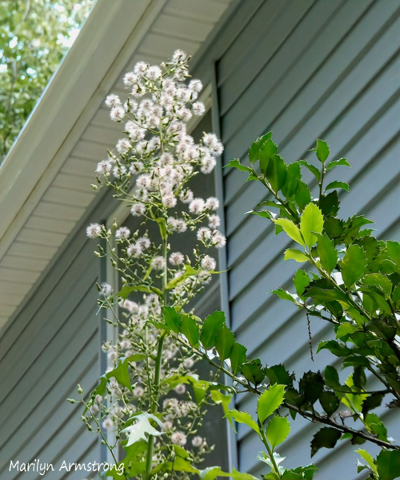 This image has an empty alt attribute; its file name is 180-giant-weeds_090120_006.jpg