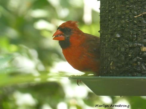 180-Orange-Beaked-Red-Cardinal-Male-090120_018