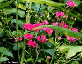 180-roses-blooming_090120_003