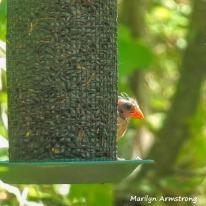 180-Square-Orange Cardinal Baby_090120_006
