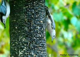 180-Two-Nuthatches-Sept_092220_049