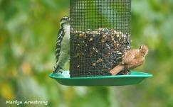 300-big-woodpecker-and-a-wren-birds-9-14_091420_070