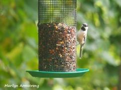 300-black-capped-chickadee-birds-9-14_091120_002
