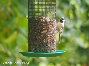 300-black-capped-chickadee-birds-9-14_091120_002