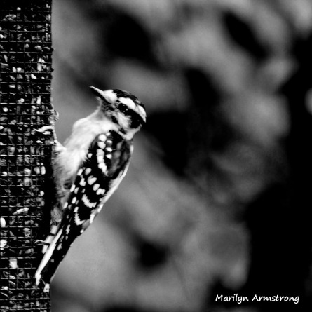 300-bw-square-hairy-woodpecker_090720_010