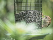 300-chipping-sparrows_091020_001.