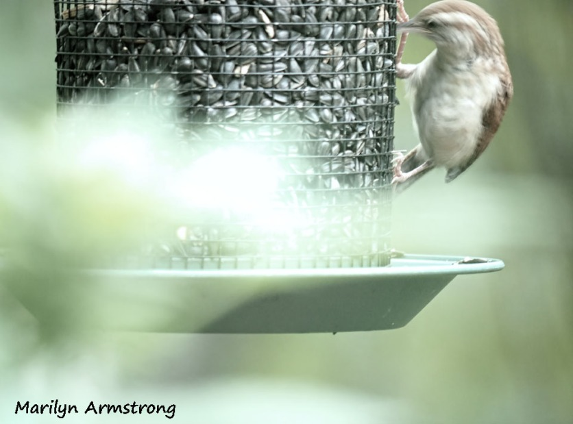 300-chipping-sparrows_091020_008