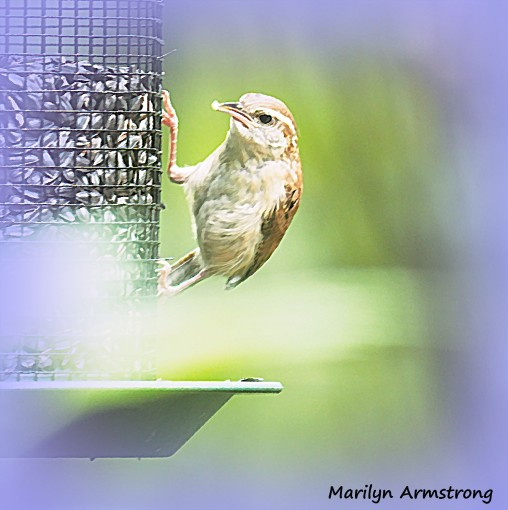 300-chipping-sparrows_091020_010