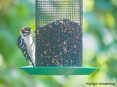 300-downy-woodpecker090420_108