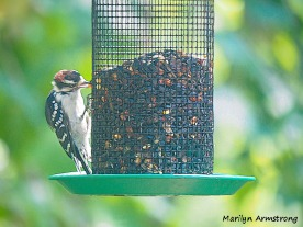 300-downy-woodpecker090420_108