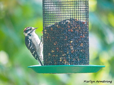 300-downy-woodpecker-090420_109