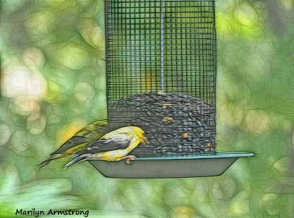 300-goldfinch-birds-9-14_091420_034