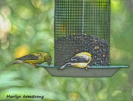 300-goldfinch-birds-9-14_091420_038
