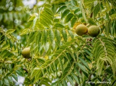 300-horse-chestnuts-early-foliage-mar_092420_028
