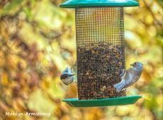 Nuthatch and Tufted Titmouse