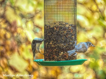 A nuthatch and a tufted titmouse