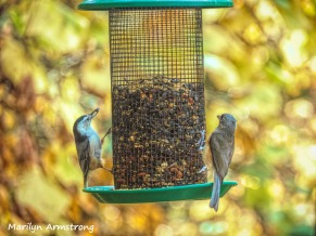 300-post-rain-nuthatch-titmouse_092820_007