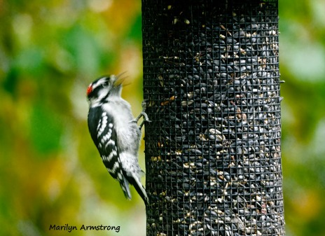 300-red-belly-woodpecker_092220_151