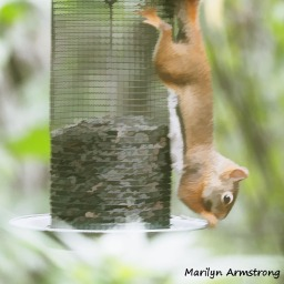300-red-squirrels_091020_001