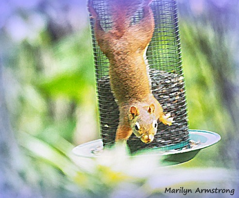 300-red-squirrels_091020_002