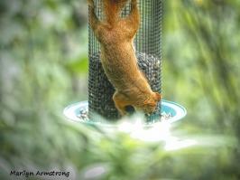 300-red-squirrels_091020_003