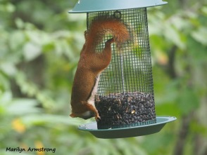 300-red-squirrels_091120_007