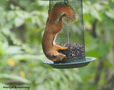 300-red-squirrels_091120_00