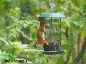 300-red-squirrels_091120_031