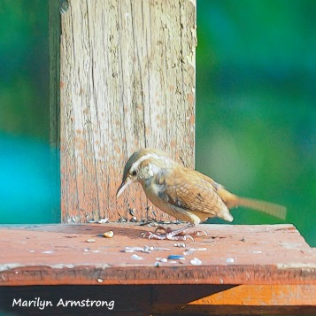 300-square-carolina-wren_090620_138