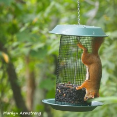 300-square-red-squirrels_091120_002
