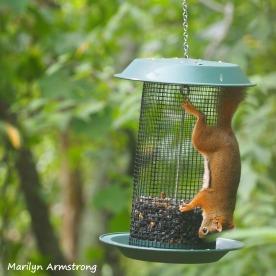 300-square-red-squirrels_091120_002