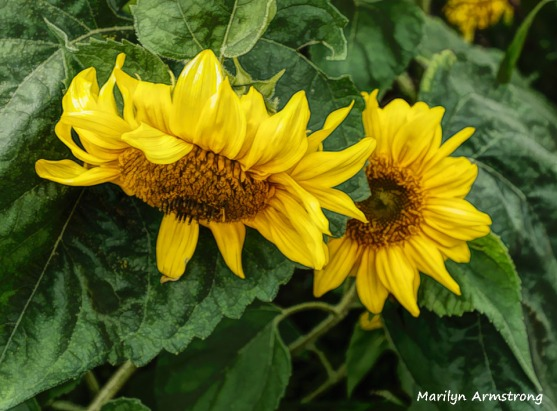 300-sunflowers-early-foliage-mar_092420_016