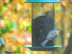 300-tufted-titmouse-9-29_092820_108