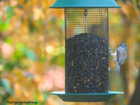 300-tufted-titmouse-9-29_092820_116