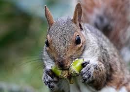squirrell - acorns