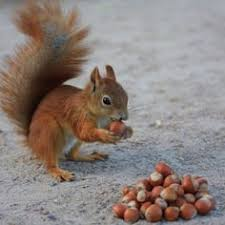 squirrells= acorns2