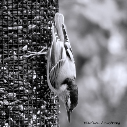 180-BW-Square-Nuthatch_092220_039