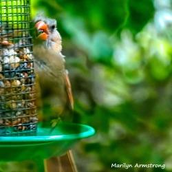 180-C-Square-Orange-Beak-Fledgling-Cardinal-08-31-2020_001