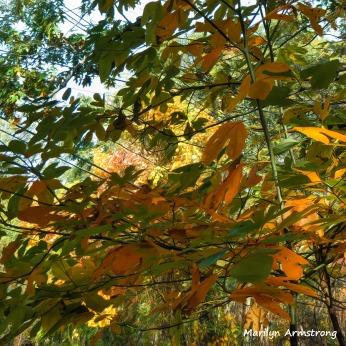 180-Square-Sassafras-October-Foliage__101920_119