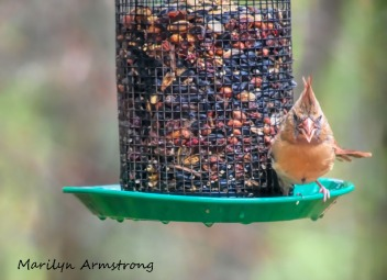 300-angry-orange-cardinal_101320_018