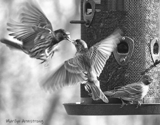300-bw-flying-red-finches-crop-02282020_083