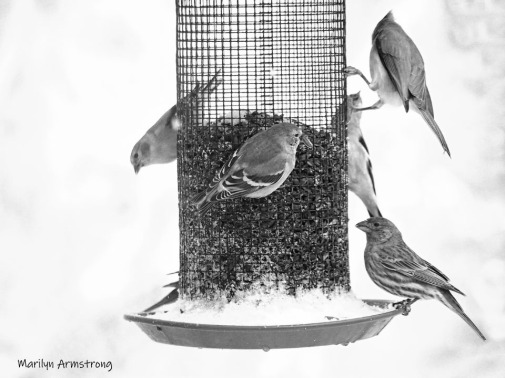 Five Goldfinches