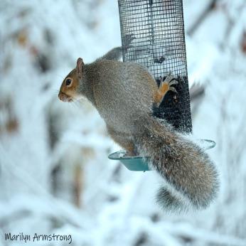 300-Square-snow-squirrel_103020_0084