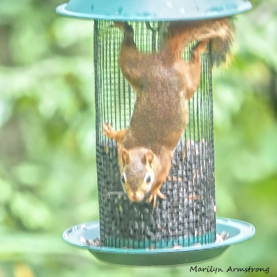 300-squae-painting-red-squirrel_091020_201