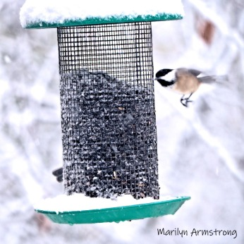 300-square-chickadee-flying-october-snow-bids_103020_069